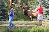 Courtesy Photo - Michael Hancock<br /> Tourists get too close to an enormous bull elk near the YMCA of the Rockies last week. Not only are such approaches illadvised, they are illeagal; do not approach, chace of harass wildlife.