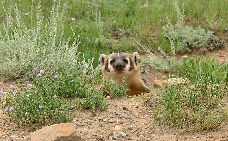Walt Hester | Trail-Gazette<br /> A curious badger peeks up out of a ditch in Carriage Hills on Thursday. Badgers can be aggressive; be careful and keep an eye out on walks.