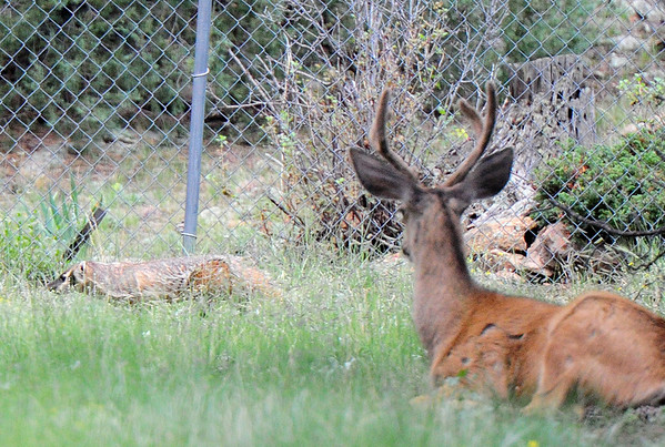 Walt Hester | Trail-Gazette<br /> A buck deer watches as a badger ambles by in Carriage Hills on Tuesday. Wildlife is abundent in the Estes Park valley, some more aggressive than others.