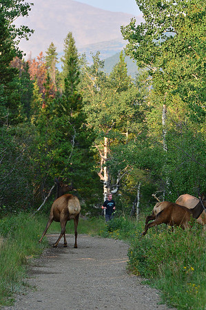 Walt Hester | Trail-Gazette<br /> Elk dive off of the Homer Rouse Trail as a runner approaches on Tuesday. The Estes Park area has miles and miles of unpaved trails waiting to be explored.