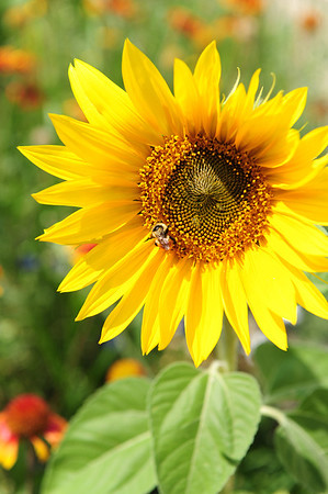 Walt Hester | Trail-Gazette<br /> A bee enjoys a sunflower along the Riverwalk on Sunday. A wide variety of blooms still color the walk along the Big Thompson and Fall river.