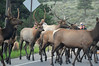 Walt Hester | Trail-Gazette<br /> A herd of elk block traffic and attract visitors on Moraine Avenue on Wednesday. Drivers have to be vigilant as wildlife will pop out of ditches and road-side brush without warning.