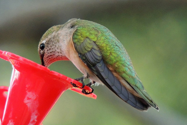 A female Broadtail Hummingbird perches and has a long drink from a feeder in Estes Park.