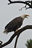 Walt Hester   Trail-Gazette<br /> A bald eagle warns another raptor off of a perch above Lake Estes on Wednesday. Eagles, as predators, are territorial animals.