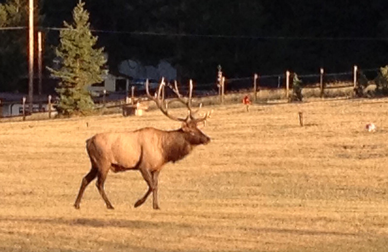 A large bull elk moves through the open space at Estes Park Memorial Gardens over the weekend. The bulls have begun bugeling as the rut is underway.