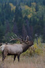Walt Hester | Trail-Gazette<br /> A bull elk bugles in Horseshoe Park on Wednesday. Bulls are gathering cows and becoming aggressive, so caution is advised around these big, fast animals.