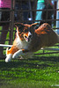 Walt Hester | Trail-Gazette<br /> A dog bounds happily over a bar during a demonstration at the Dogs of the Brittish Isles area at the Scot Fest on Saturday. The performing dogs ran obstacle courses, caught flying discs and herded sheep.