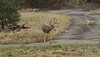 A large mule deer buck moved through a Carriage Hills neighborhood Wednesday about sundown.