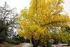Walt Hester   Trail-Gazette<br /> Autumn color pops from a tree along the Lake Estes Trail on Wednesday. Color is appearing on the higher slopes around Estes Park and in the national park as siummer fades into fall.