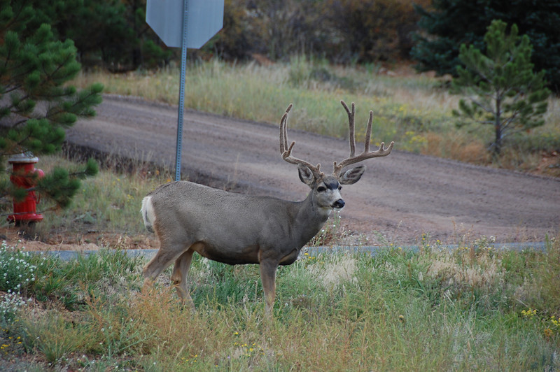 A large mule deer buck (7x6) wandered through a Carriage Hills neighborhood Wednesday night.