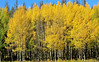 Golden aspen decorate the roadside on the west side of Rocky Mountain National Park. The golden splash will soon be a part of a golden wave of color as the fall season arrives in the area.