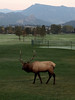 A big bull trims the grass at the Lake Estes 9-hole course on Friday. After a chilly  start to the day, the skies cleared with a high expected in the low 70s.