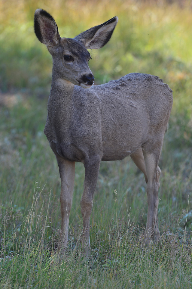 Walt Hester | Trail-Gazette<br /> A fawn looks around in a yard in Carriage Hills on Wednesday. Deer and elk are crowding into town as the temperatures sink in the higher altitudes of the mountains.