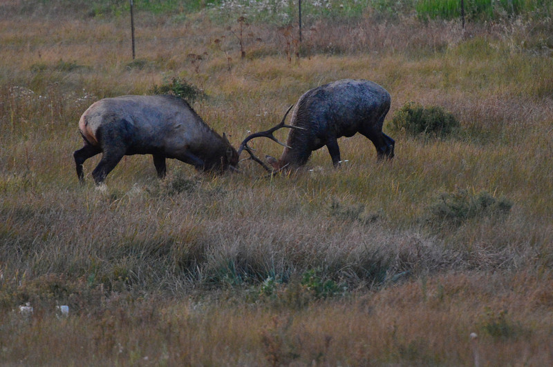 Walt Hester   Trail-Gazette<br /> A pair of bull elk spar near HWY 7 on Saturday evening. The display attracted a lot of attention, as real jousting is rare.