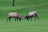 Walt Hester | Trail-Gazette<br /> A lpair of smaller bulls joust on the Lake Estes Nine-Hole golf course on Wednesday. The pair attracted the eye of the big bull, who quickly ran the small bulls off.