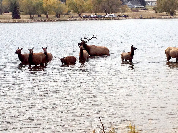 A bull elk guided his small harem of cows into Lake Estes Sunday afternoon. The animals spent a short time in the water before the bull wandered off looking for more cows on the 9-hole golf course.