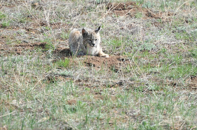 A bobcat seems to wait for a ground squirrel to appear in Carriage Hills on Thursday. While the cats are not as big as their cousins, the mountain lion, bobcats will take small pets, as well as ground squirrles and rabbits.