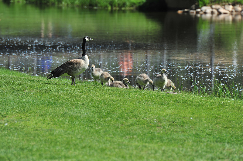 Canada geese, new and older, wander the Lake Estes 9-Hole Golf Course on Monday. Geese, elk and deer all call the ourse home, at points throughout the year, and cause consternation in duffers.