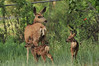 A doe and twin fawns bounce around a yard in Carriage Hills on Saturday. All sorts of young wildlife is dashing about yards and open spaces in and arond Estes Park.