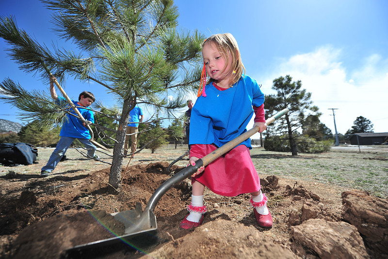 Alison Raymond, 6, helps replace dirt on a Colorado Blue Spruce at the Estes Park Elementary School on Friday. The event was part of Arbor Day festivitiesat the school.