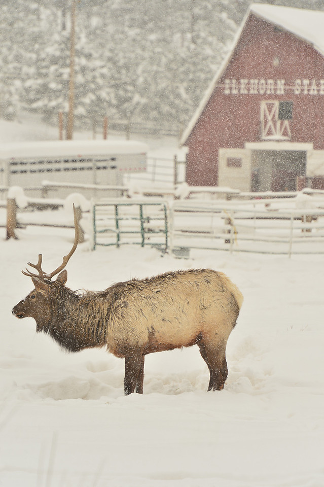An elk trudges through nearly two feet of snow along Elkhorn Avenue on Wednesday. Much needed snow blanketed the area for half the week.