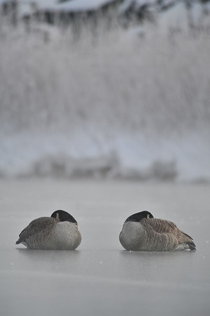 A pair of geese huddle up on one of the Scott Ponds against Thursday's cold. Rhermometers read below zero as the day began, though a warming trend is expected for the weekend.