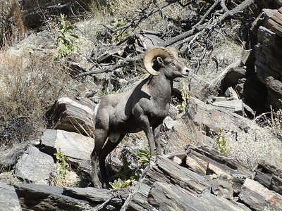A dominant bighorn ram in rut in the Big Thompson Canyon.