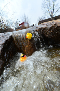 Lead ducks tumble through the cascade at Performance Park on Saturday. Cascades, eddys, rocks and branch present obstacle that some ducks just can't get through.