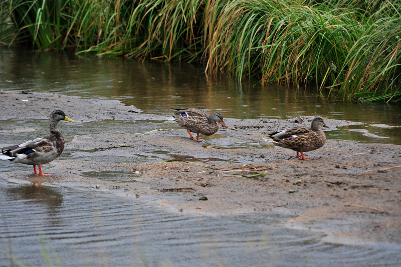 Photo by Walt Hester<br /> Ducks wander around a small patch of mud on the nine-hole golf course on Wednesday.