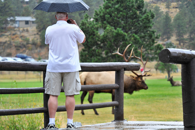 Photo by Walt Hester<br /> A visitor photographs a big bull at the Lake Estes nine-whole golf course on Wednesday. The course has fenced off the greens while elk occupy the course during the fall rut.