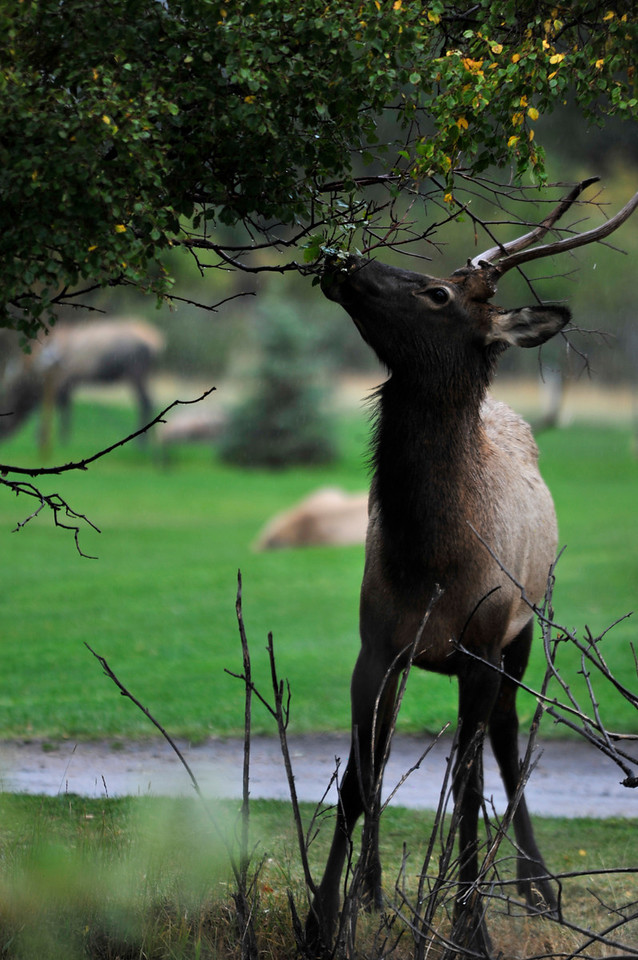 Photo by Walt Hester<br /> A young bull elk takes the changing leaves off af a tree along the Big Thompson River on Wenesday.