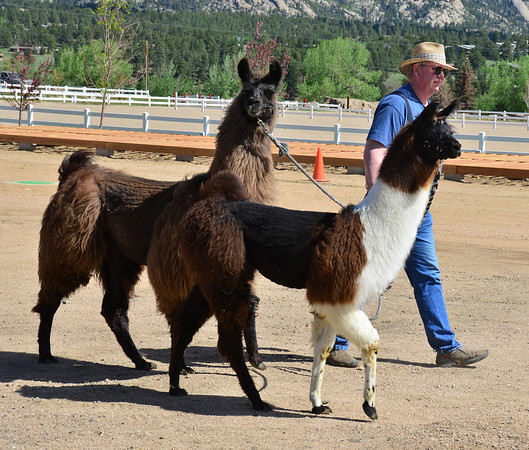 There were plenty of llamas in Estes Park over the June 8 and 9 weeekend for the annual Estes Park Wool Market held at the Fairgrounds at Stanley Park.