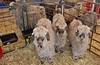 A pen of angora goats awaits judging June 8 in the annual Estes Park Wool Market held at the Fairgrounds at Stanley Park.