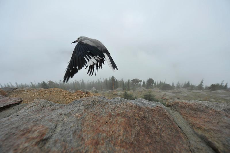 09EP News  Nutcracker.jpg Walt Hester | Trail Gazette<br /> A Clark's nutcracker takes flight at Rainbow Curve on Wednesday. The smart birds often pester visitors for food.