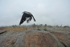 09EP News  Nutcracker.jpg Walt Hester | Trail Gazette<br /> A Clark's nutcracker takes flight at Rainbow Curve on Wednesday. The smart birds often pester visitors for food.