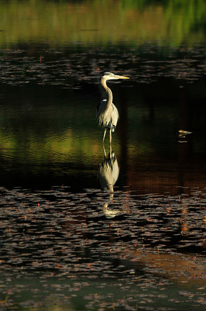 01EP DtBk Great Blue Reflection.jpg Walt Hester | Trail Gazette<br /> A blue heron soaks in the early morning light on the largest of the Scott Ponds on Wednesday. The migratory birds like to summer in Estes Park.