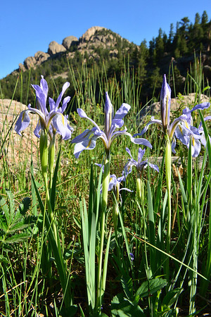 Wild Irises add color to the path around Lily Lake on Tuesday. June is a great time to look for wildflowers in the Estes Park valley, as stream flows are near peak and rains roll through in the afternoons.
