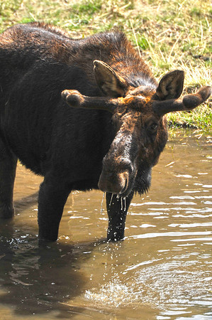A bull moose slurps up lunch in a lond along the Fern Lake Trail on Monday. The biggest relative of the deer are still relatively rare on the east side of the Continental Divide, but are becoming less so as they establish themselves.