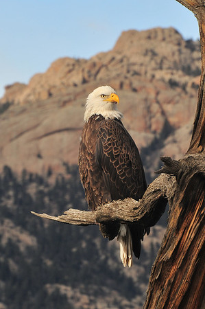 A bald eagle purches proudly on an old snag with the Lumpy Ridge rising behind. The large birds are said to have amazing eyesight allowing them to hunt from hundreds of feet in the air.