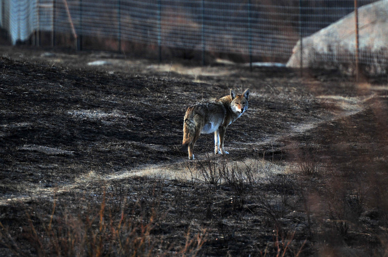 A coyote looks back from a blackenedarea in Morain Park on Thursday. While the landscape will show signs of the fall fire for a while to come, the wildlife is returning already.