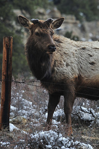 A bull sporting fuzzy, new growth watches cars drive by along Fall River Road on Thursday. Bull elk are in the process of regrowing antlers after dropping the old ones in the last month.