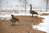 A pair of Canadian geese stayed to areas clear of snow below the Olmpus Dam earlier this week.