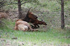 A newborn elk calf, just minutes old, attempts to stand in a draw near Lake Estes Saturday morning. The calf was born sometime before 10 a.m. June 1. Cow elk are extremely protective of their newborn calves and can become quite aggressive. A cow elk is large enough to seriously injure or kill a human whom whe feels is threatening her calf. It is advisable to give the mothers plenty of room.