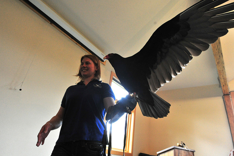Julia Wynn of the Birds of Prey foundation of Broomfield carries a turkey vulture named Chuck back to his cage at the Estes Valley Museum on Saturday. The foundation's presentation served to educate estes Park parents and children, not only of the habits of the large magestic birds, but the plight of those that come to the foundation.