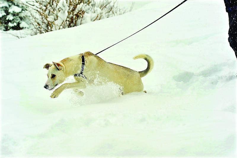 A small dog frolics in the deep snow in Estes Park on Monday.