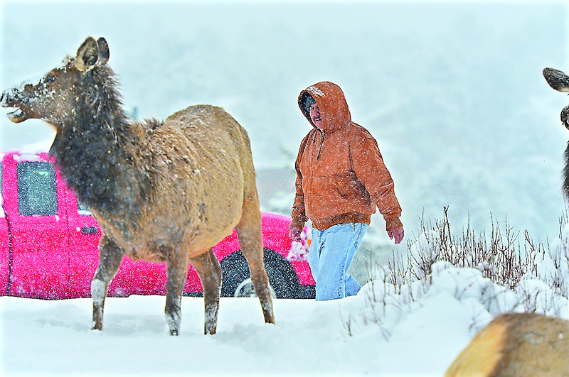 A man watches elk as he makes his way into downtown Estes Park on Monday. Snow made life challenging for both man and beast.