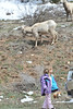 A little girl seems unimpressed by a flock of bighorn sheep along Fall River Road on Saturday. The animals are searching for new grass at the lower elevations before snow melts and vegetation is exposed on the high slopes.