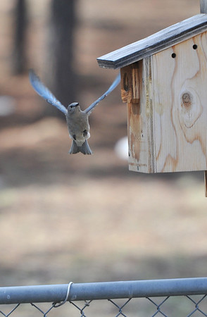 A female bluebird investigates a birdhouse in Carriage Hills on Monday. The colorful birds rteturned to he valley months ago, and are nesting and laying eggs now.
