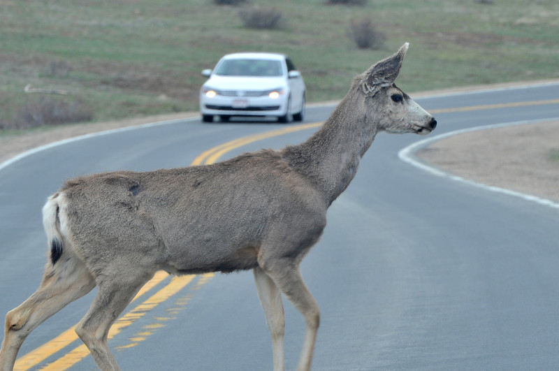A deer saunters across Moraine Avenue on Tuesday. As weather warms moe of the smaller ungulates will wounder across Estes Park and nationsl park streets.