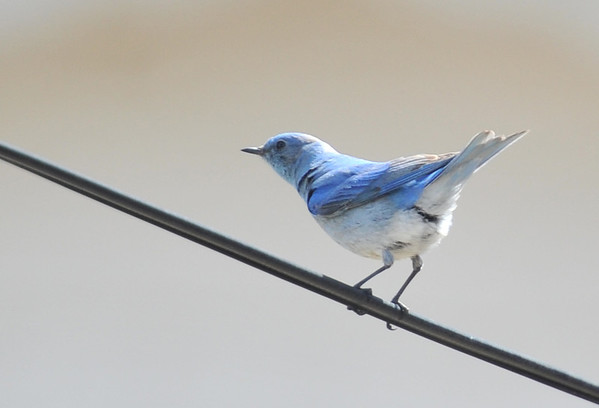 A male bluebird balances on a wire along Carriage Drive on Monday. The colorful birds are decorating skies and branches around Estes Park.